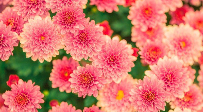 Letní rostliny se stěhují. Kdy má dojít k zazimování?