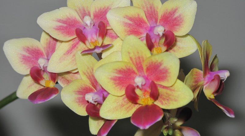mini orchideje